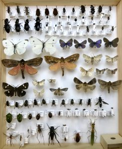 Box of pinned insects: butterflies, moths, beetles, a praying mantis